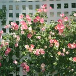 rampicante fiorito su staccionata e ringhiera