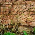 rampicante muro giardino