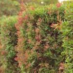 Siepe rossa in giardino