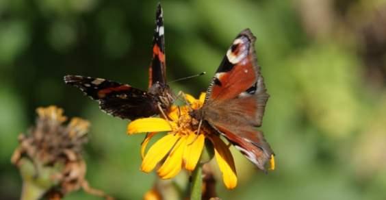 attirare le farfalle in giardino