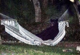orso su amaca